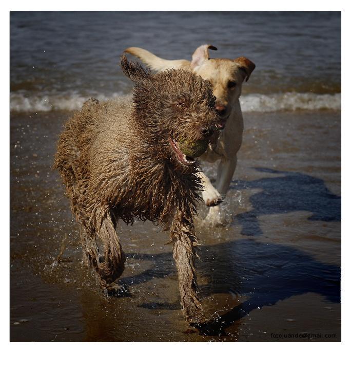 Juego de perros en la playa
