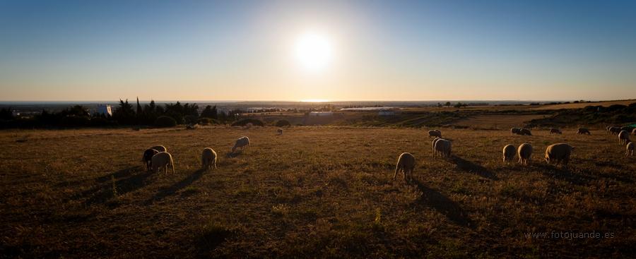Rebaño de ovejas al atardecer