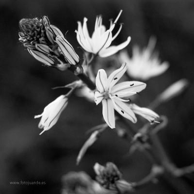 La flor del gamón.